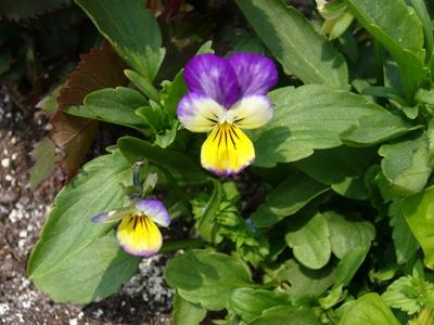 ビオラ・紫と黄