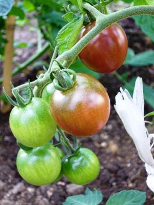 ミニトマト・トスカーナバイオレット