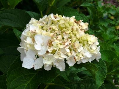 アジサイ・白花