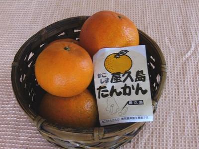 屋久島たんかん1