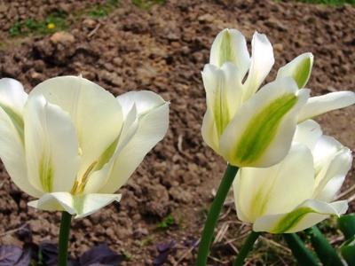 ビリディー咲き・スプリンググリーン