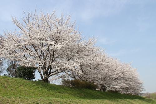 桜散歩11