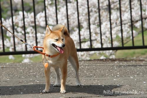 桜散歩12
