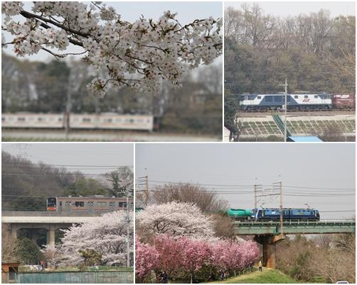 桜散歩14