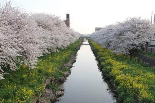 桜散歩17