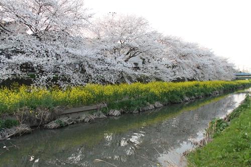 桜散歩19