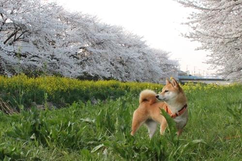 桜散歩20