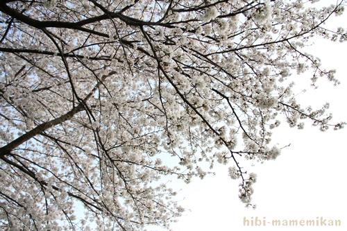 桜散歩22