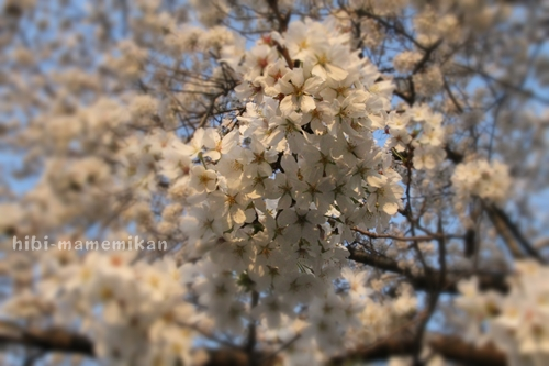 桜散歩23