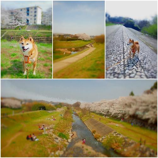 桜散歩24