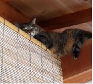 1チシャ猫
