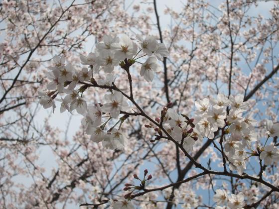 sakura-001.jpg
