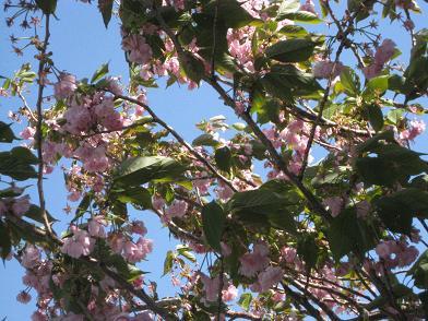 残りわずかな八重桜