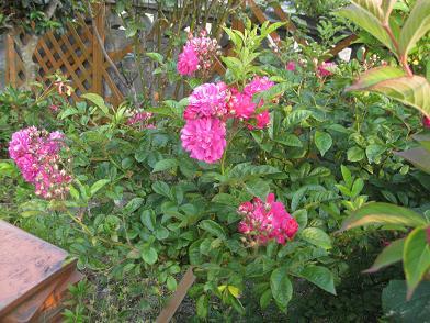 ツル薔薇さん咲き始めました