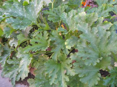 ズッキーニの葉っぱ