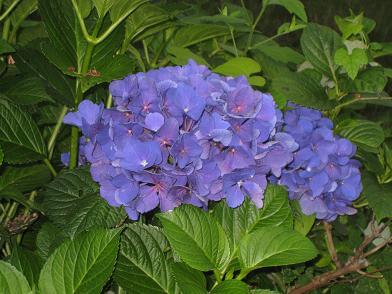 まだ綺麗な色の紫陽花