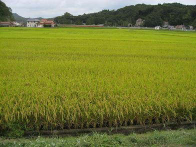 刈り取り間近な稲さん
