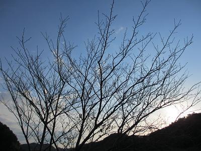 寒そうな桜の木