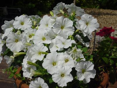 庭の花ばな 002