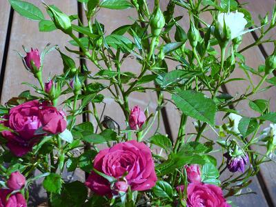 庭の花ばな 003