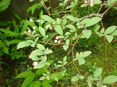 梅雨の庭 003