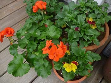 庭の花々 006