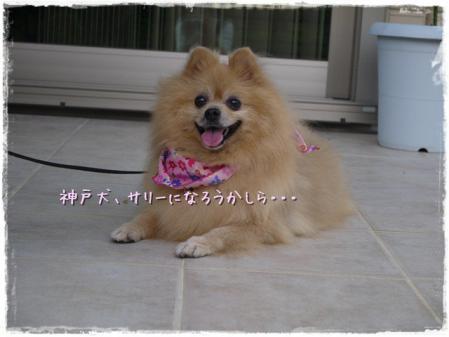 神戸犬、サリーになろうかしら・・・