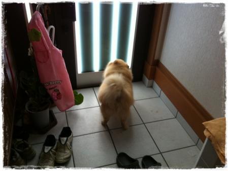 玄関で吠えるサリー