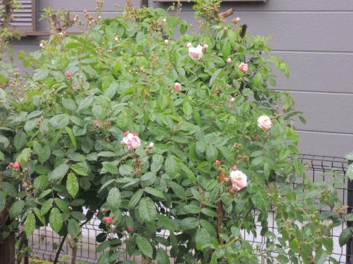 5月15日 雨の庭2