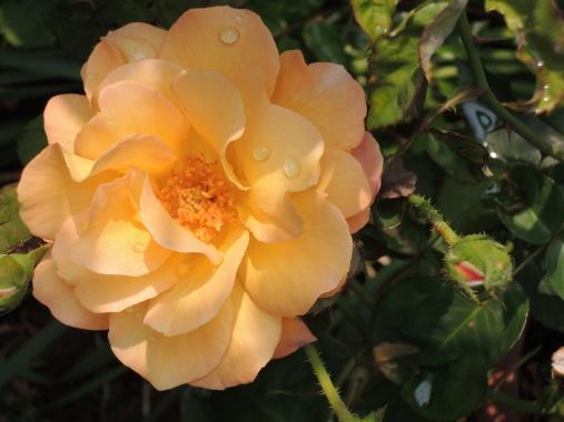 5月29日 アンネのバラ