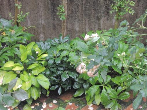 6月22日 雨の庭2