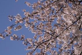 20120415_桜