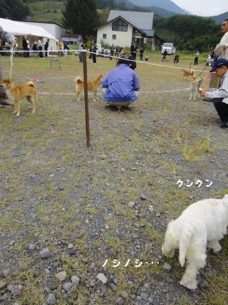 柴犬展覧会