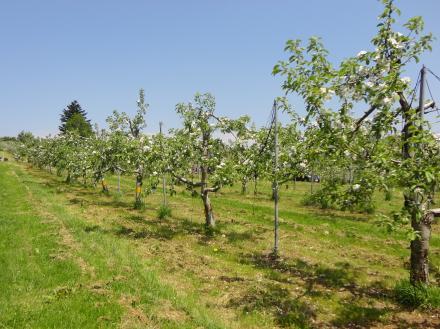 りんごのお花見