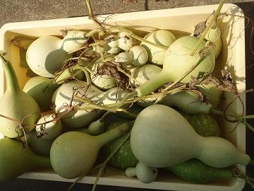 収穫した 中型、大型ひょうたん