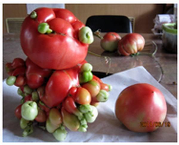 20120107_tomato1.jpg