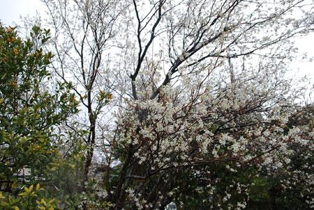 雨の中のジューンベリーの花