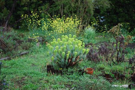 ユーホルビアと菜の花