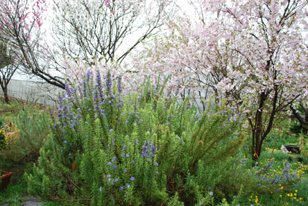 ローズマリーと桜