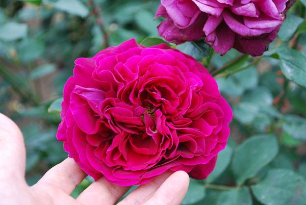 濃紅のバラ