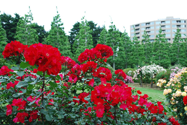 2013-バラ展 赤バラ 新宿御