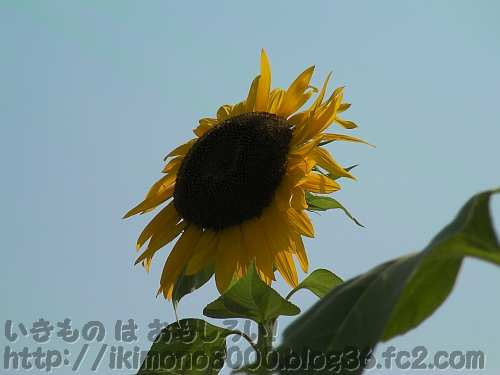 長居植物園の大輪一重咲きのヒマワリ