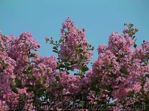 長居植物園のピンク色の百日紅の花