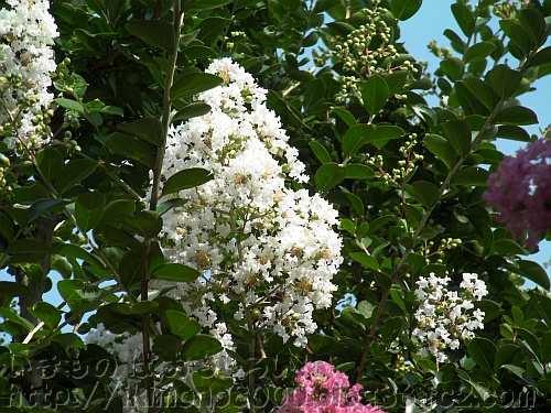 長居植物園の白い百日紅の花