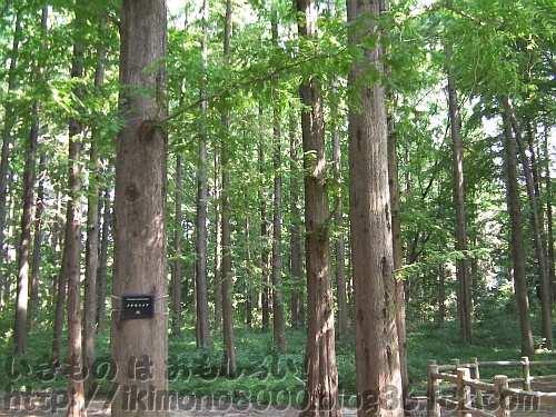夏のメタセコイアの森