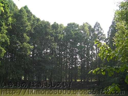 夏のラクウショウの森