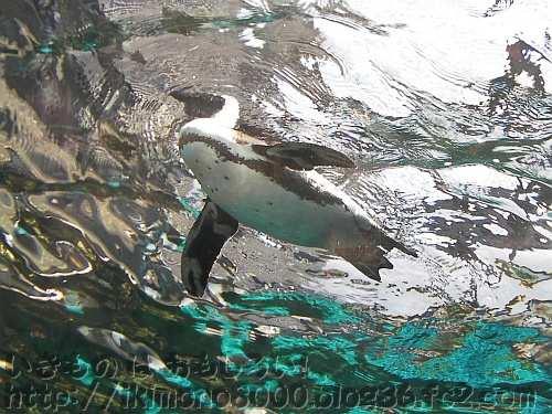 京都水族館の「ペンギンゾーン」のケープペンギン