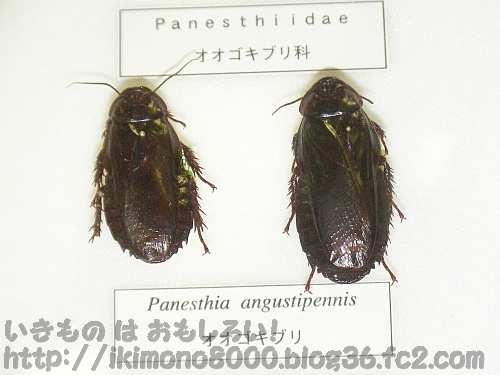 オオゴキブリの標本(箕面公園昆虫館 2009年)
