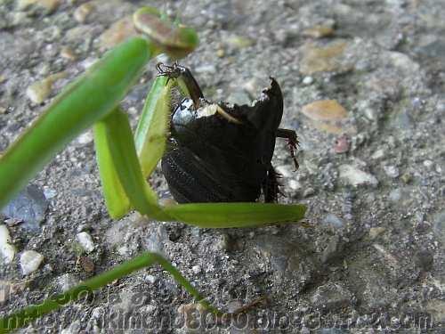 かなり食べられているオオゴキブリの幼虫