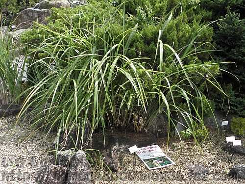 ススキの株元で咲いている「野草園」のナンバンギセル(標識の上あたり)